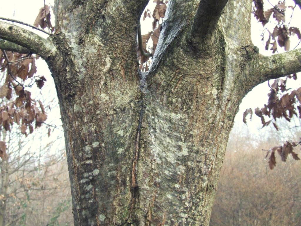 Zwiesel Baum - Baumscheibe aus Zwiesel
